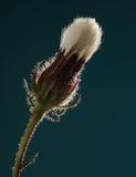Plan rapproché mûr de fleur Image libre de droits