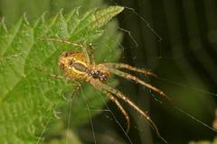 Plan rapproché, macro photo d'une araignée se reposant en son Web Photographie stock libre de droits
