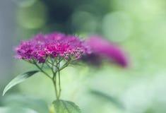 Plan rapproché macro Spiraeajaponica 'Bullata' (lat Cognassier du Japon de Spiraea) Photo libre de droits
