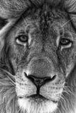 Plan rapproché masculin de visage de lion Image stock