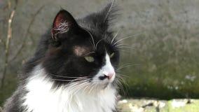 Plan rapproché mignon de chat domestique banque de vidéos