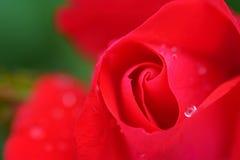 Plan rapproché minuscule de bouton de rose Photographie stock libre de droits