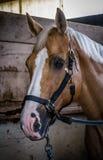 Plan rapproché mis un frein de cheval Photo libre de droits