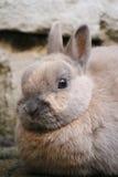 Plan rapproché nain de lapin Image stock