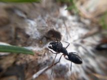 Plan rapproché noir de mâchoires de fourmi image libre de droits