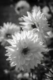 Plan rapproché noir et blanc abstrait de fleur de ressort Images libres de droits