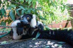 Plan rapproché noir et blanc de lémur de Ruffed photos stock