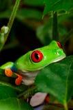 Plan rapproché observé rouge de grenouille d'arbre photographie stock libre de droits