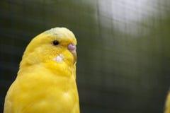 Plan rapproché onduleux jaune de perroquet sur la nature Images stock