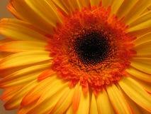 Plan rapproché orange de fleur. Images stock