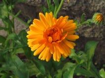 Plan rapproché orange de fleur d'officinalis de calendula, une usine utilisée en gastronomie et médecine traditionnelle Photos stock