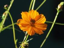 Plan rapproché orange de fleur de cosmos avec le fond foncé Photo stock