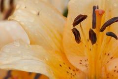 Plan rapproché orange de fleur de lis Images libres de droits