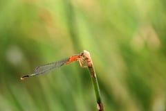Plan rapproché orange de libellule de brownn Images stock
