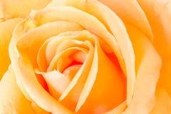Plan rapproché orange de Rose Photographie stock