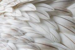 Plan rapproché pelucheux blanc de plume Images stock