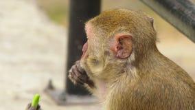 Plan rapproché peu de singe mangeant l'épi de maïs clips vidéos