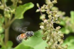 Plan rapproché planant d'abeille de miel Photographie stock libre de droits