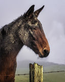 Plan rapproché Portraitn de Muddy Mule image stock