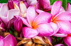 Plan rapproché pour denteler des espèces de Plumeria d'arbre de temple de pagoda de Frangipani/ / Apocynaceae Photos libres de droits