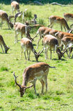 Plan rapproché pour le troupeau de cerfs communs affrichés Photos stock