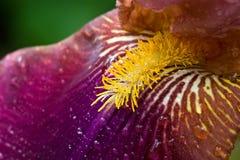 Plan rapproché pourpré d'iris Photo libre de droits