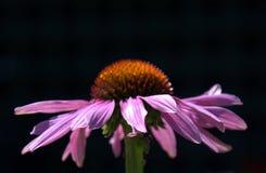 plan rapproché pourpré de fleur Photo libre de droits