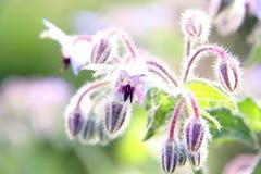 Plan rapproché pourpré et blanc de fleur Photographie stock libre de droits