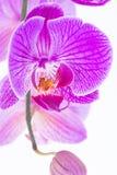 Plan rapproché pourpre d'extrémité d'orchidée de Phalaenopsis Images libres de droits