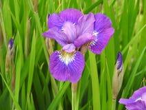 Plan rapproché pourpre d'iris Photographie stock