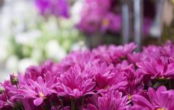 Plan rapproché pourpre de chrysanthèmes Photo libre de droits
