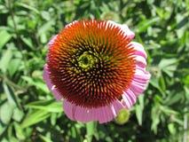 Plan rapproché pourpre de Coneflower/Echinacea Images libres de droits