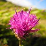 Plan rapproché pourpre de fleur de chardon Photographie stock libre de droits