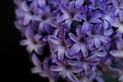 Plan rapproché pourpre de fleur de jacinthe Images stock