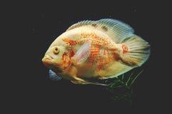 Plan rapproché prédateur de poissons des espèces Astronotus Okellatus, inh Photo stock