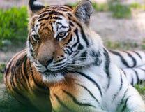 Plan rapproché prédateur de tigre de portrait Photo stock