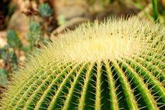 Plan rapproché principal de cactus Photos stock