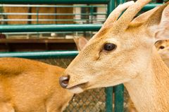 Plan rapproché principal de cerfs communs Images stock