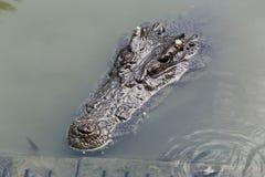 Plan rapproché principal de crocodile Photos libres de droits