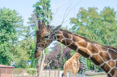 Plan rapproché principal de girafe Tiré dans le zoo de Wroclaw image libre de droits
