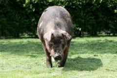 Plan rapproché principal de tir d'un porc masculin puissant photographie stock