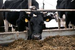 Plan rapproché principal de vache dans un stylo à une exploitation laitière photos libres de droits