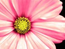 Plan rapproché pris par fleur de Cosmo Photos stock