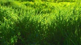 Plan rapproché rêveur d'herbe de pré, éclairé à contre-jour par le soleil banque de vidéos