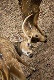 Plan rapproché repéré sri-lankais de cerfs communs Image libre de droits