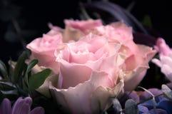 Plan rapproché rosâtre de roses profilé sur un noir et tout autre fond de fleurs Photographie stock