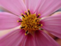 Plan rapproché rose Photographie stock