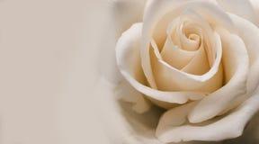 Plan rapproché rose d'abricot rose-clair crémeux image stock