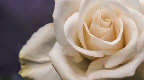 Plan rapproché rose d'abricot rose-clair crémeux photographie stock libre de droits