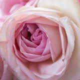 Plan rapproché rose de rose Photo stock